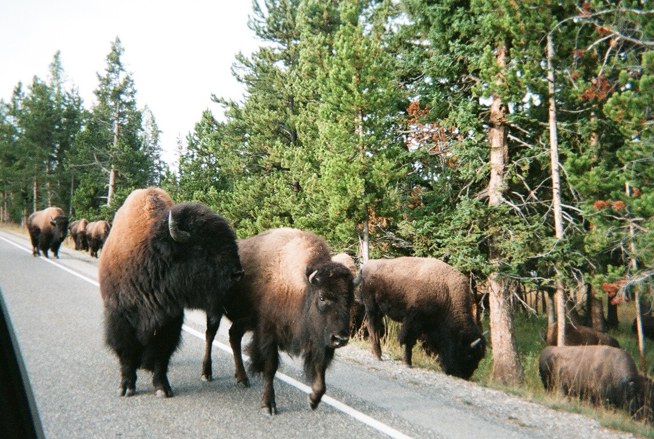 Bisons in Yellowstone.